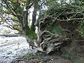 Tree, eroded bank, River Teign - geograph.org.uk - 1188518.jpg