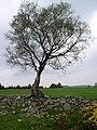 Tree - geograph.org.uk - 126595.jpg
