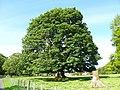 Tree at Ardgowan House - geograph.org.uk - 177877.jpg