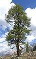 Tree in Cortina.jpg