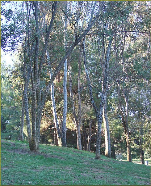 File:Trees, Yucaipa Reg Park 3-10-13 (8552674044).jpg