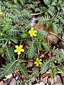 Tribulus terrestris (Family Zygophyllaceae).jpg