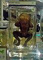 Trichobatrachus robustus 01.jpg