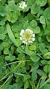 Trifolium repens, white clover- λευκό τριφύλλι.jpg