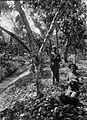 Tropenmuseum Royal Tropical Institute Objectnumber 60005761 Pluk van vruchten van de cacaoboom.jpg