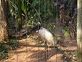 Tuiuiu side 09142007 Zoo Brazil.jpg