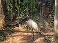 Tuiuiu side 09142007 Zoo Brazil.jpg
