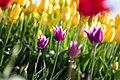 Tulips (39842907620).jpg