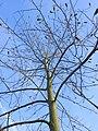 Tulpenbaum 01 TP12102.jpg
