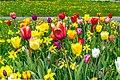 Tulpenbeet (154036817).jpeg