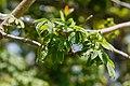 Tunku Sabah Kapok-Tree-02.jpg