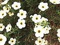 Turnera subulata-1-xavier cottage-yercaud-salem-India.JPG