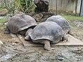 Turtles in Zoo Negara Malaysia (7).jpg