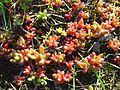 Typische Rotfärbung der Blätter des Scharfen Mauerpfeffer (Sedum acre) bei Sonne und Wärme-hms(1).jpg
