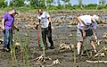 US Navy 090610-N-9712C-002 Sailors assigned to Naval Air Station Joint Reserve Base New Orleans and Fleet Logistics Support Squadron (VR) 54 plant California Bulrush at Bayou Suavage National Wildlife Refuge.jpg