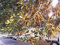 Umbrella Tree Leaves Catching Sunset Light (5352113658).jpg