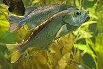 Unidentified fish, Kelp forest, Baltimore aquarium.jpg