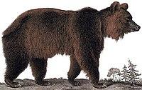 Ursus arctos Dessin ours brun grand.jpg