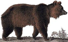 Ursidae Wikipedia