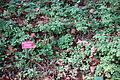 Vancouveria hexandra - Regional Parks Botanic Garden, Berkeley, CA - DSC04411.JPG