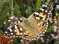 Vanessa cardui - Painted Lady (40099419182).jpg