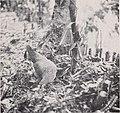 Vanilla culture in Puerto Rico (1948) (20381902490).jpg