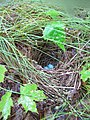 Veery Nest with eggs (Catharus fuscescens) (7686087218).jpg