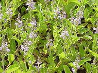 Veronica officinalis2.