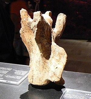 Camelops - Camelops spine bone