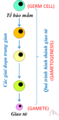 Vi.Tế bào mầm (Germ cell).png
