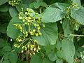 Viburnum lantana 1c.JPG