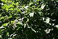 Viburnum plicatum 2zz.jpg