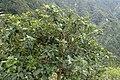 Viburnum rigidum kz3.jpg