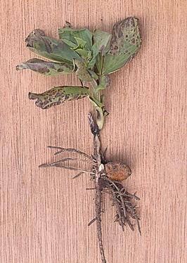 Afbeeldingsresultaat voor tuinboon kiemplantje afbeelding