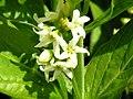 Vincetoxicum hirundinaria ziedai.jpg