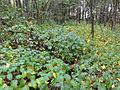 Vincetoxicum rossicum SCA-04869.jpg