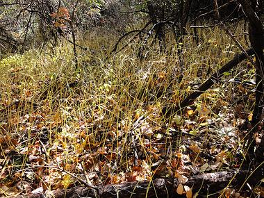 Vincetoxicum rossicum SCA-05093.jpg