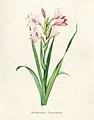 Vintage Flower illustration by Pierre-Joseph Redouté, digitally enhanced by rawpixel 48.jpg