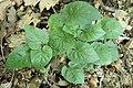 Viola alba zk01.jpg