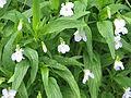 Viola elatior (14239754841).jpg