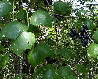 <i>Vitis mustangensis</i> Species of grapevine