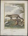 Viverra pardina - 1700-1880 - Print - Iconographia Zoologica - Special Collections University of Amsterdam - UBA01 IZ22400039.tif