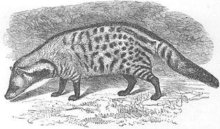 <i>Viverra</i> genus of mammals