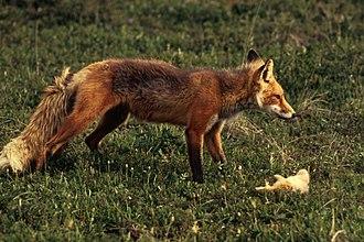 Лисица с добычей