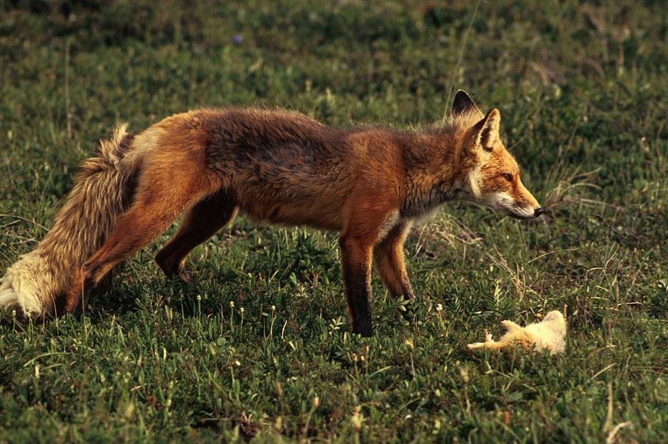Vulpes vulpes with prey