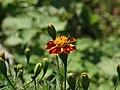W marigold4101.jpg