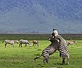 War and Peace in the Ngorongoro crater.jpg