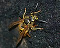 Wasp Feeding on Honeydew (8381901729).jpg