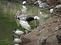 Waterbirds in Bird Aviary in Nandankanan Zoo, India 2016.jpg