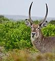 Waterbuck (Kobus ellipsiprymnus) male ... (50086065106).jpg